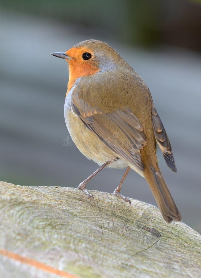 redbreast Robin στοκ εικόνες