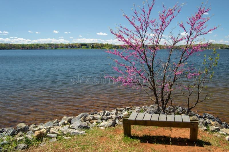 Redbud树、长凳和湖 库存照片