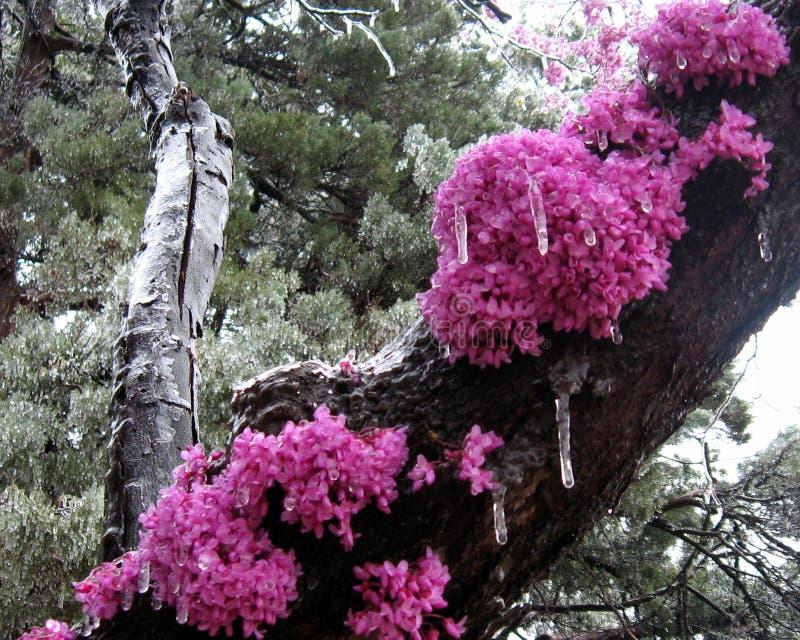 Redbud树开花冻在冰反对常青树背景 免版税库存照片