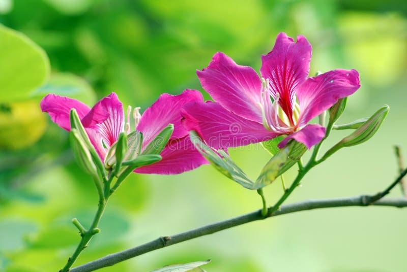 Redbud Bauhinia stockfoto