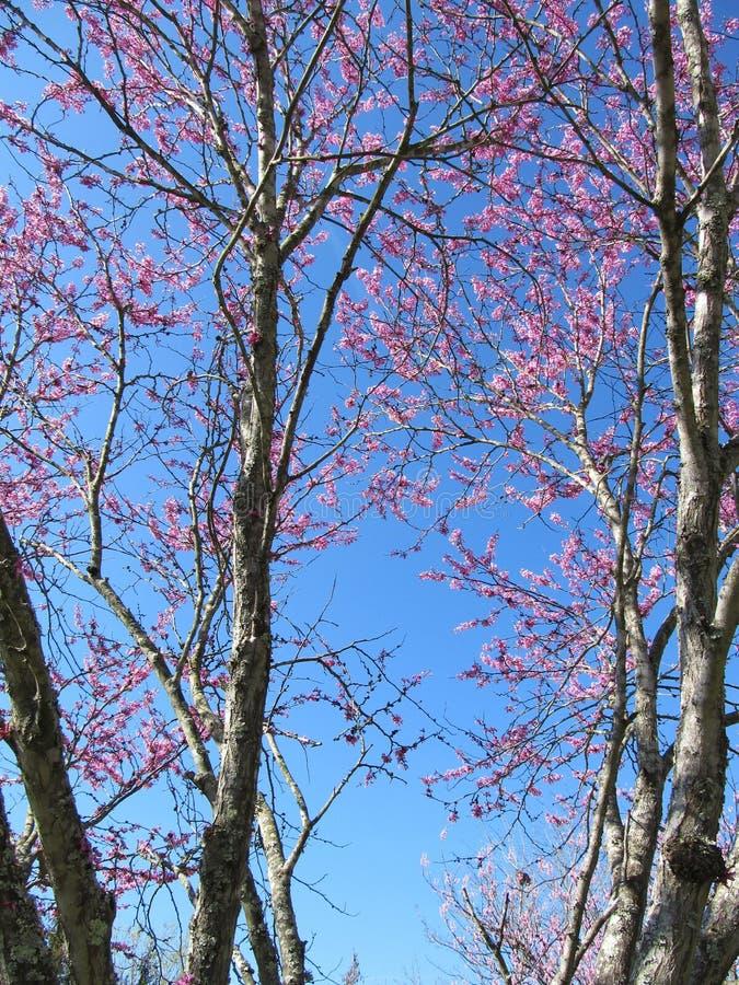 Redbud-Baum im Frühjahr lizenzfreies stockbild