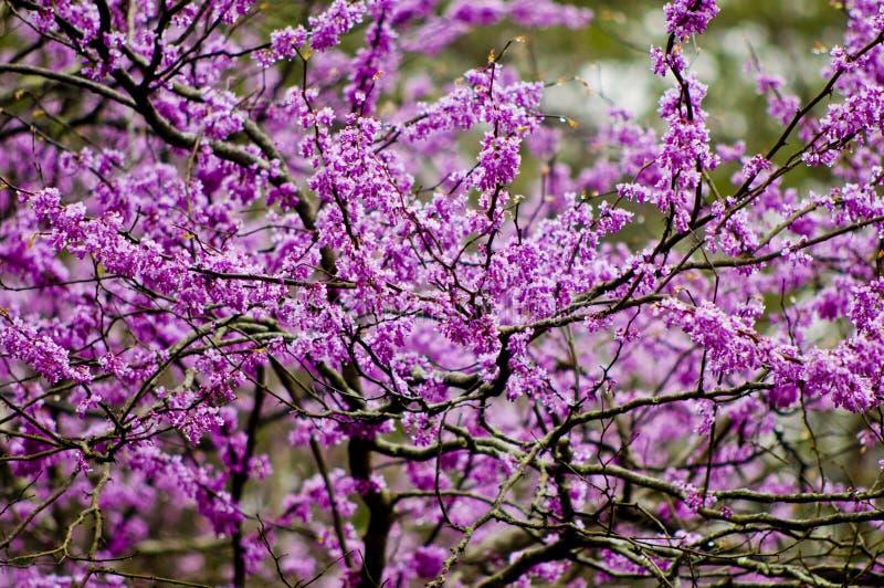 Redbud Blüte lizenzfreie stockfotografie