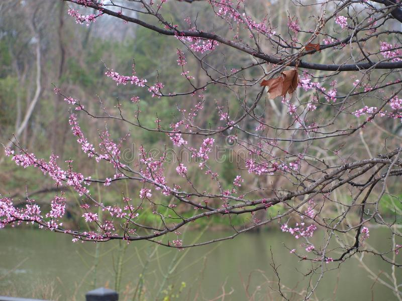 A Piece of Fall Handing on as Spring Nears. The redbud blooms is alone an old fish hatchery canal where an oak leaf still hangs on from last fall. Nature truly royalty free stock images