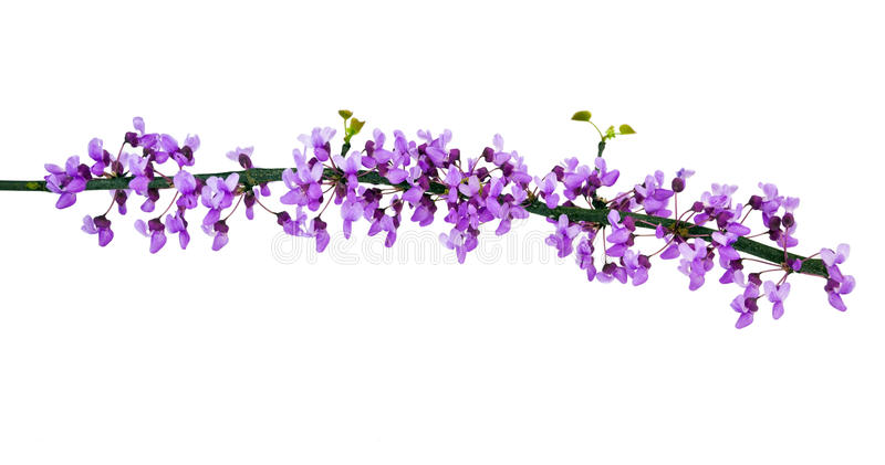 Redbud Branch royalty free stock images