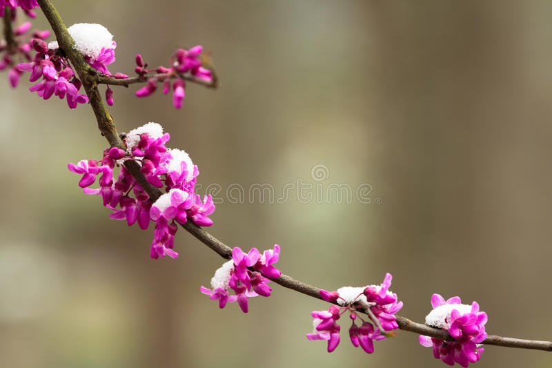 Redbud flowers and snow on branch royalty free stock image