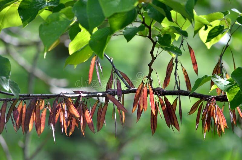 redbud gałęziasty drzewo zdjęcia royalty free