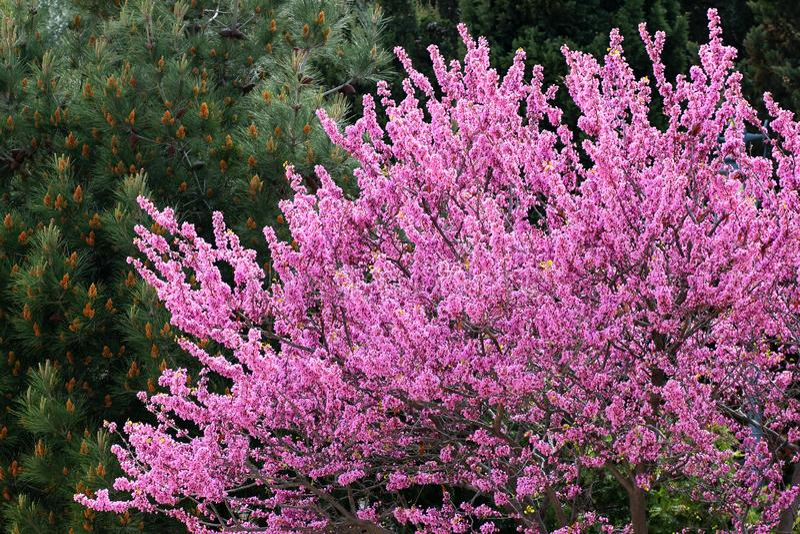 Redbud träd i blom fotografering för bildbyråer