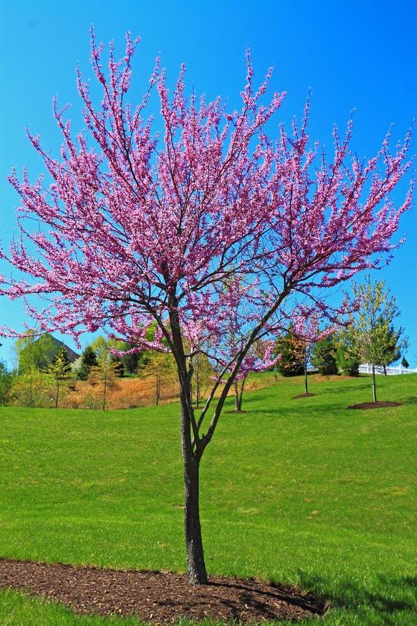 Free Redbud Tree Royalty Free Stock Images - 53483819