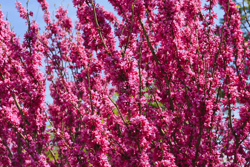Download Redbud Tree Blooms stock photo. Image of eastern, close - 83198298