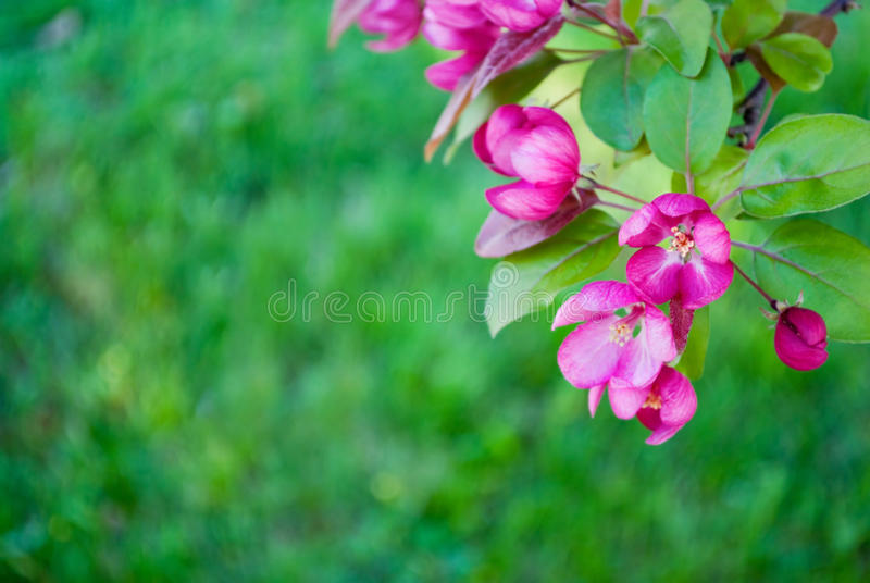 Redbud tree blossoms royalty free stock photography