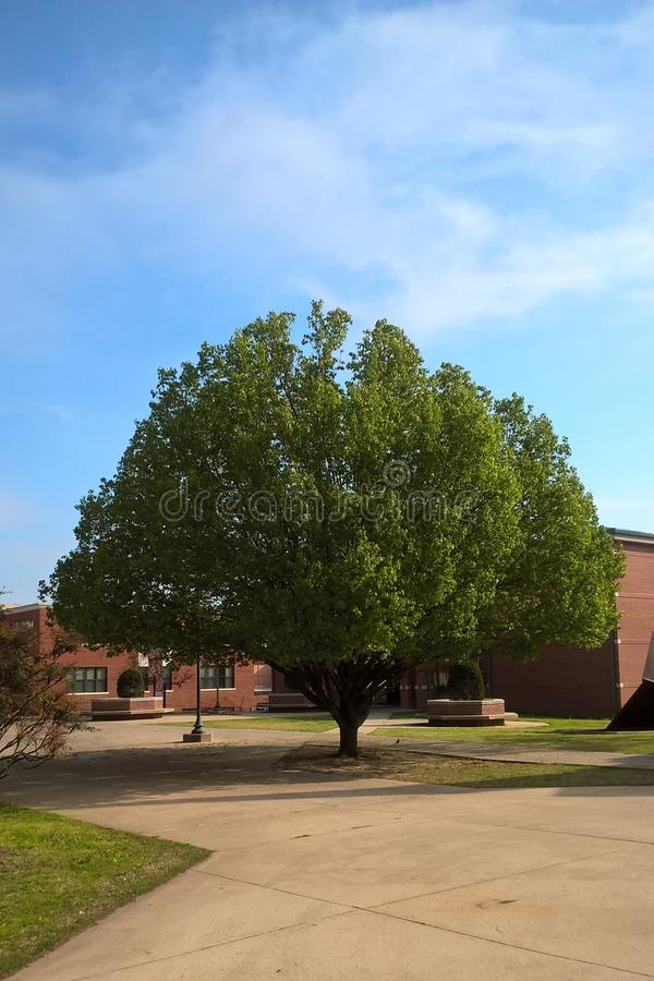 Redbud Tree stock photography