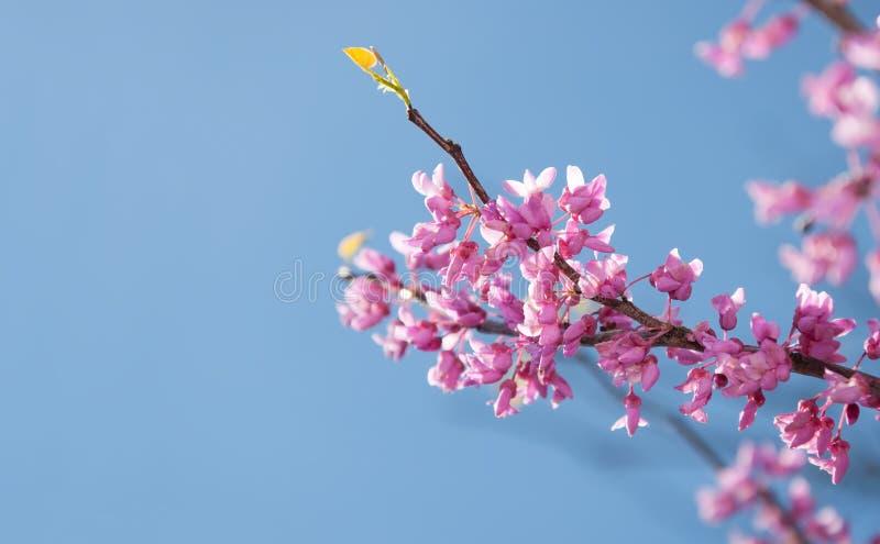 Redbud wschodni drzewo, Cersis canadensis obrazy stock