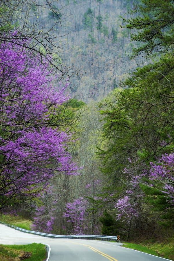Redbuds en marco de la floración los bordes de la carretera en el Smokies fotografía de archivo libre de regalías