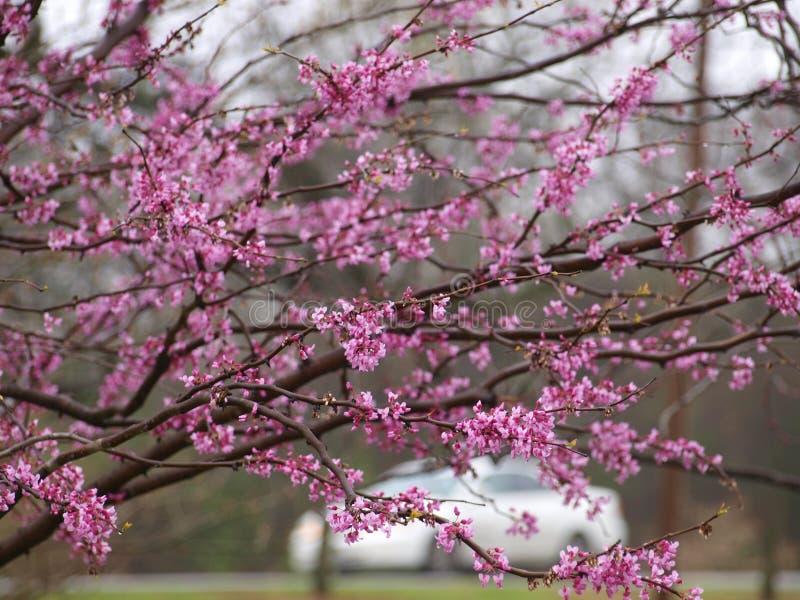 Redbuds en primavera es una opción primera del paisaje imagen de archivo libre de regalías