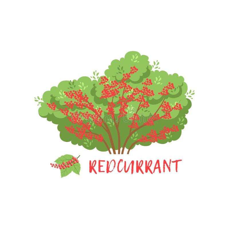 Redcurrant θάμνος μούρων κήπων με τη διανυσματική απεικόνιση ονόματος ελεύθερη απεικόνιση δικαιώματος