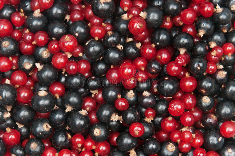 Redcurrant and blackcurrant stock photo