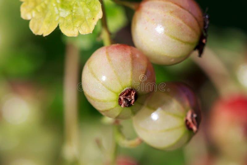 Redcurrant (eller röd vinbär), Ribesrubrum arkivfoton