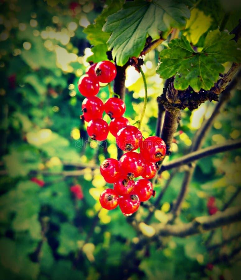 Redcurrant i trädgården arkivfoton