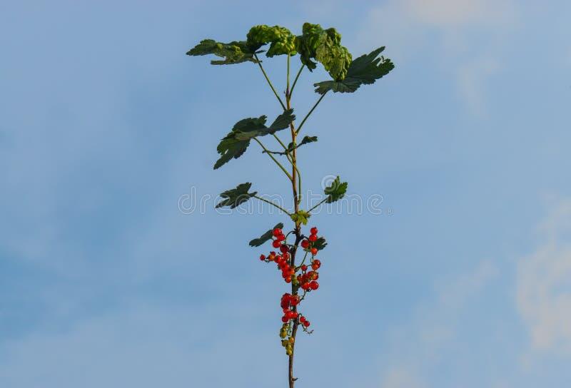 Redcurrant lub czerwonego rodzynku Ribes rubrum, jeste?my cz?onkiem genus Ribes w agrestowej rodzinie Redcurrant gałąź przeciw fotografia royalty free