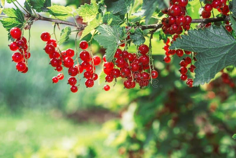 redcurrant Mogna och nya organiska bär för röd vinbär arkivbild
