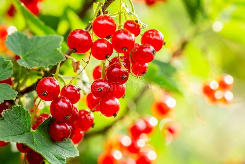 Redcurrant på busken i trädgård i solig dag för sommar royaltyfri fotografi