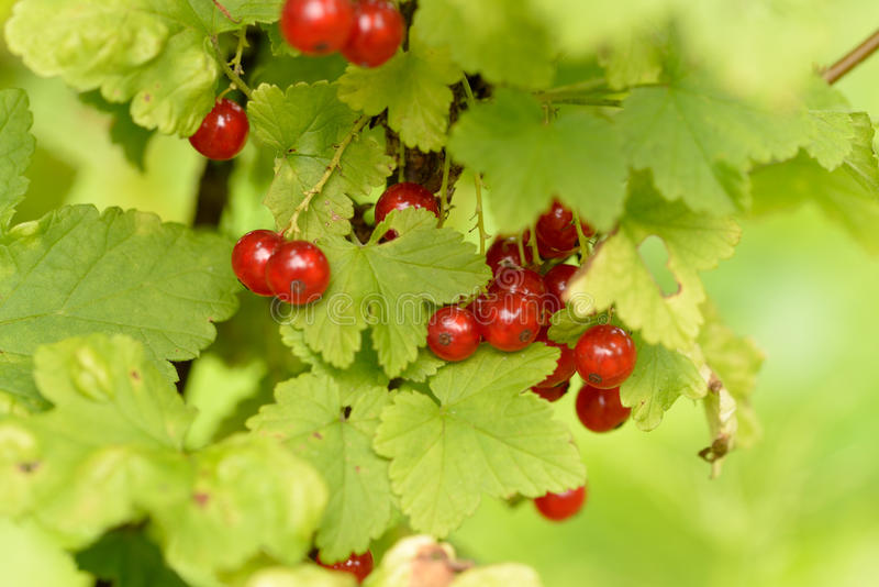 Redcurrant. The redcurrant (or red currant), Ribes rubrum, is a member of the genus Ribes in the gooseberry family Grossulariaceae, native to parts of western royalty free stock photography