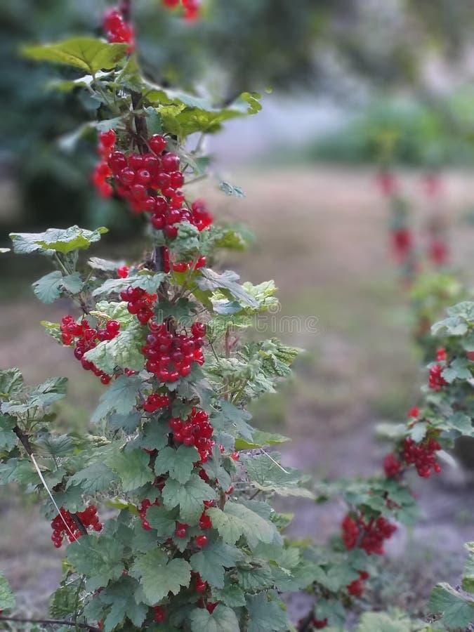 Redcurrant in tuin, ribes stock afbeeldingen
