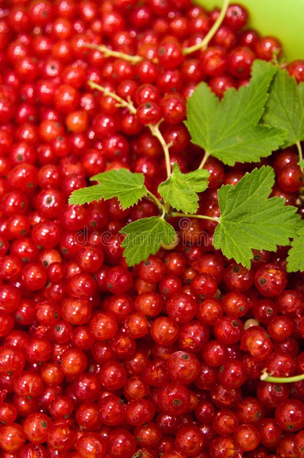 Redcurrants on black slate food photo stock images