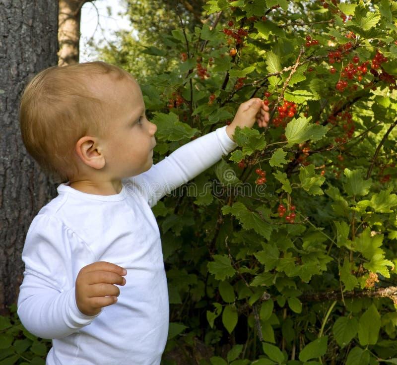 Redcurrants da colheita da criança fotografia de stock royalty free