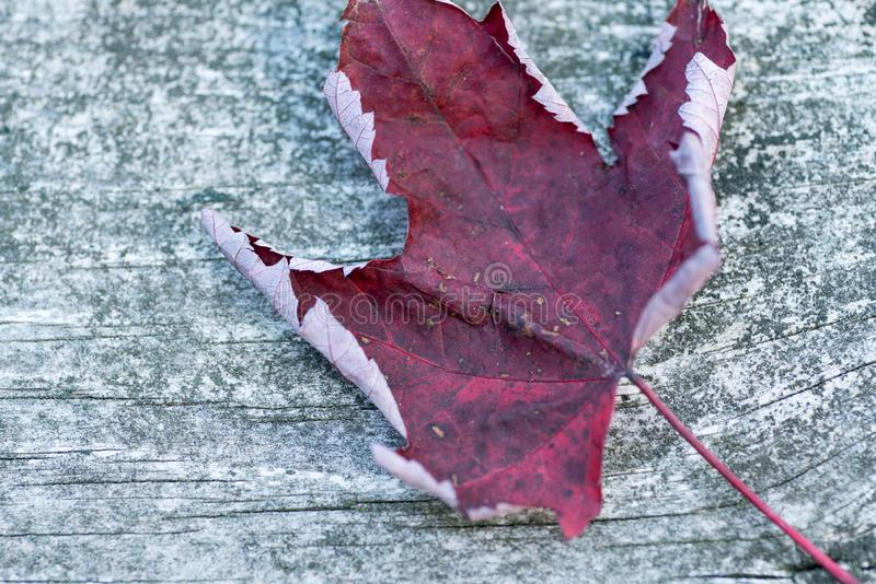 Reddish autumn single Maple Leaf on natural old wood. Fall season motive. Back to Nature concept. With copy space. Blank for text stock photo