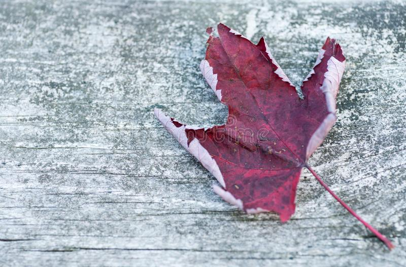Reddish autumn single Maple Leaf on natural old wood. Fall season motive. Back to Nature concept. With copy space. Blank for text royalty free stock photos