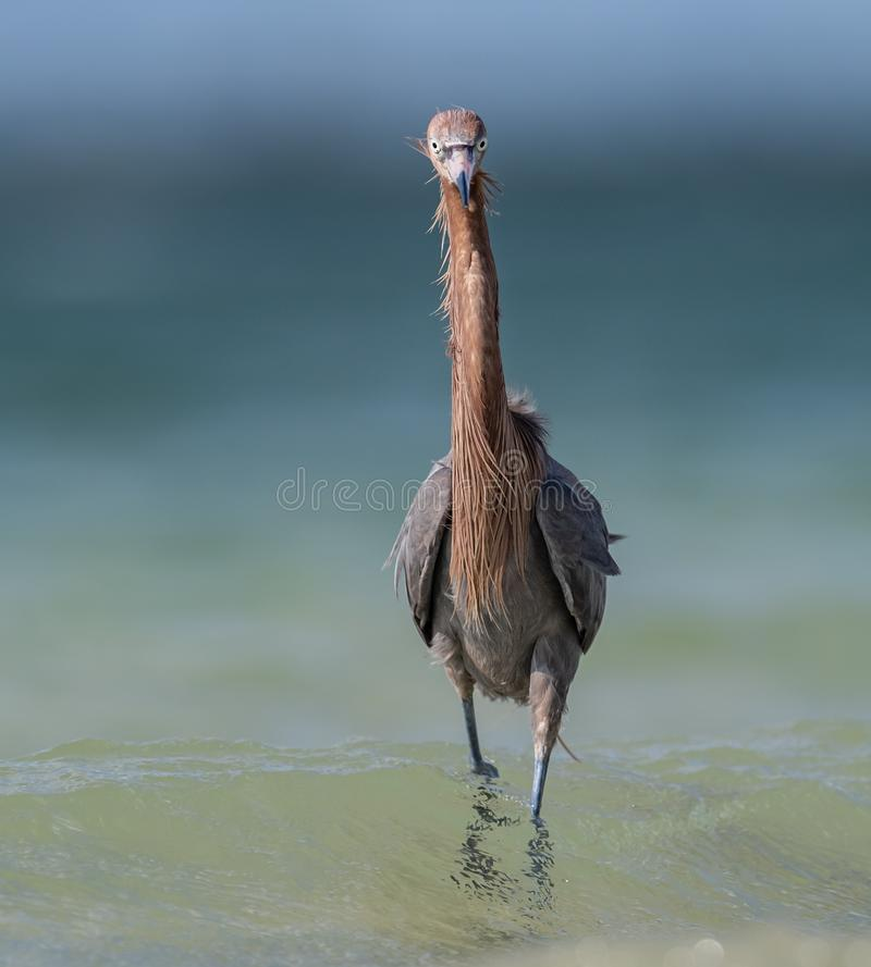 Reddish Egret on the Beach stock image