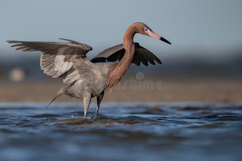 Reddish Egret on the Beach royalty free stock photography