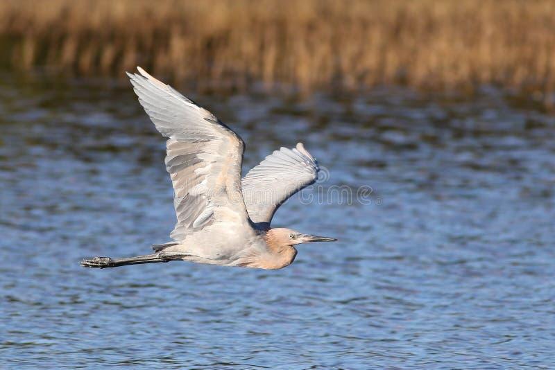 The reddish egret, Egretta rufescens royalty free stock photography