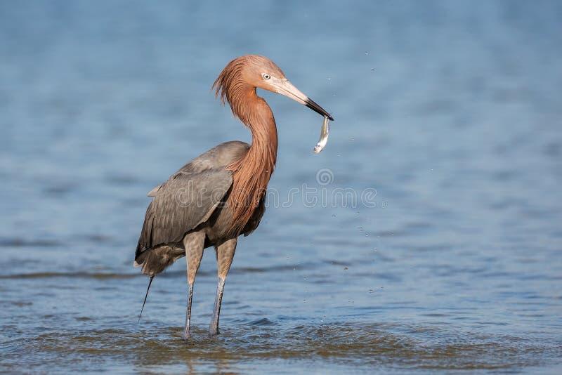 Reddish egret (Egretta rufescens), Fort myers, Florida stock image