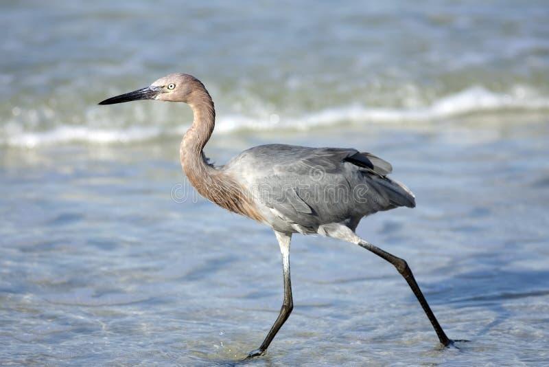 Reddish Egret fishing in the surf stock photo