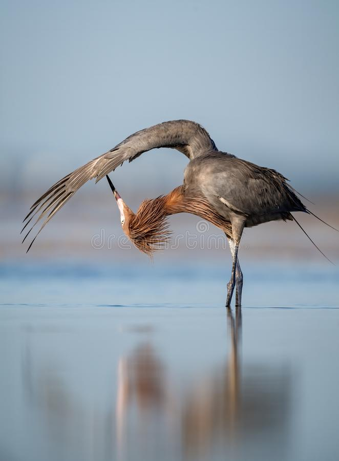 Reddish Egret in Florida. A Reddish Egret in Florida royalty free stock photography