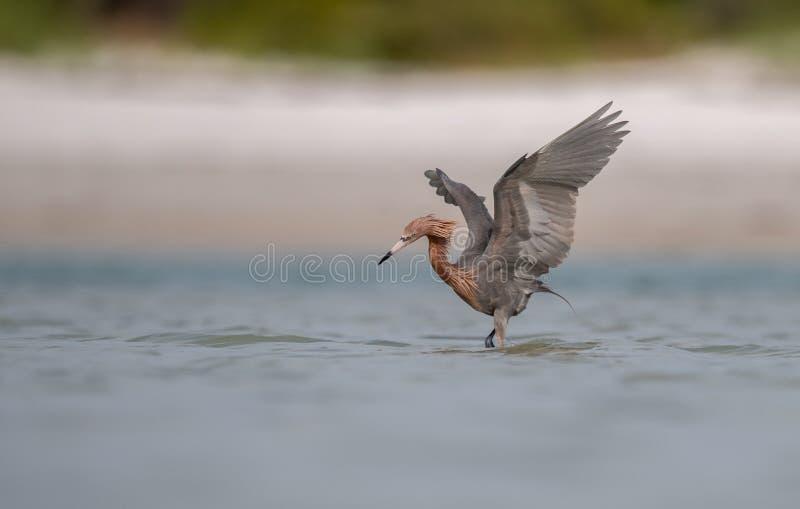 Reddish Egret in Florida royalty free stock images