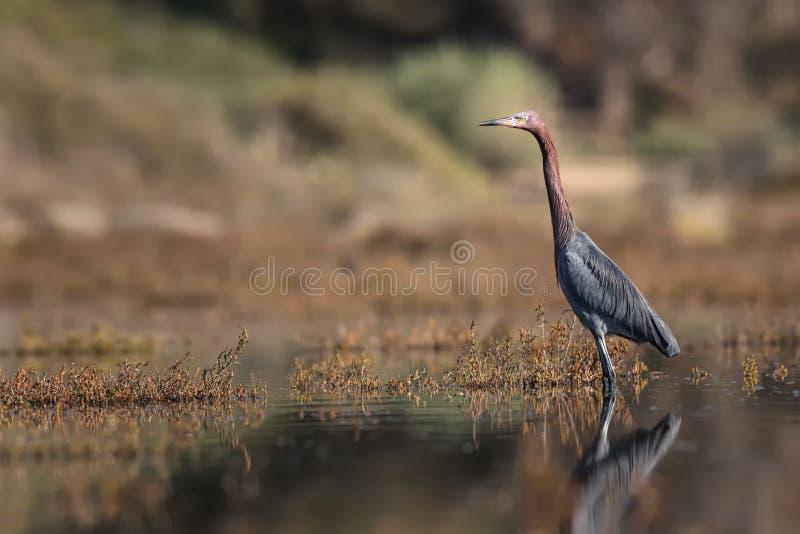 Reddish Egret stock photography