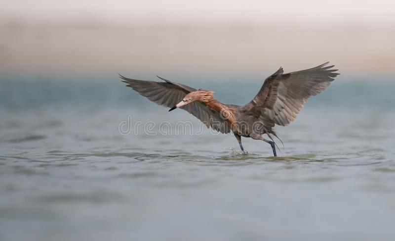 Reddish Egret in Florida stock photos