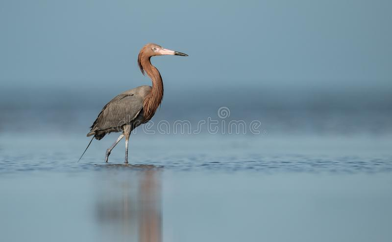 Reddish Egret in Florida stock images