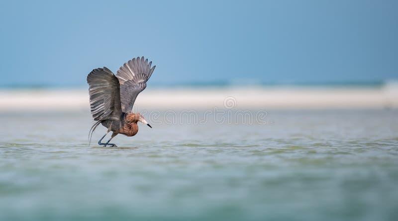 Reddish Egret on the Beach royalty free stock image