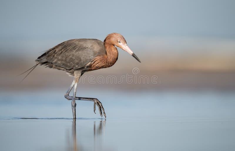 Reddish Egret on the Beach stock photography