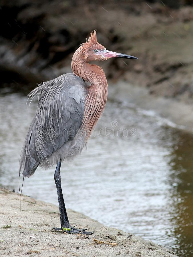 Reddish Egret in the Wind stock images