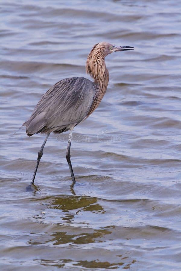 Reddish Heron Royalty Free Stock Photography