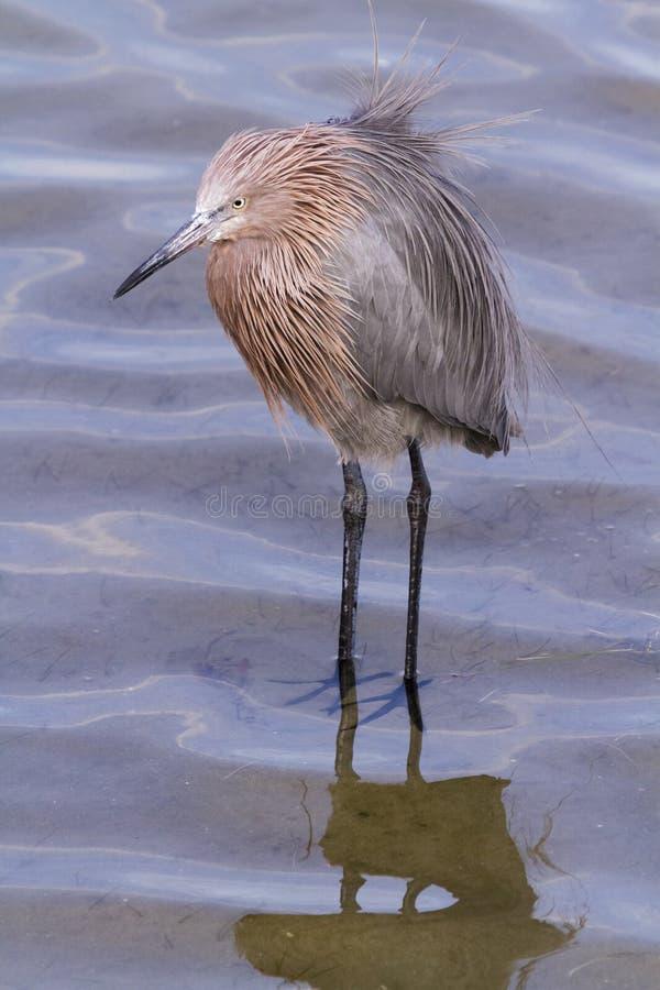 Download Reddish heron stock image. Image of small, texas, yellow - 28520397