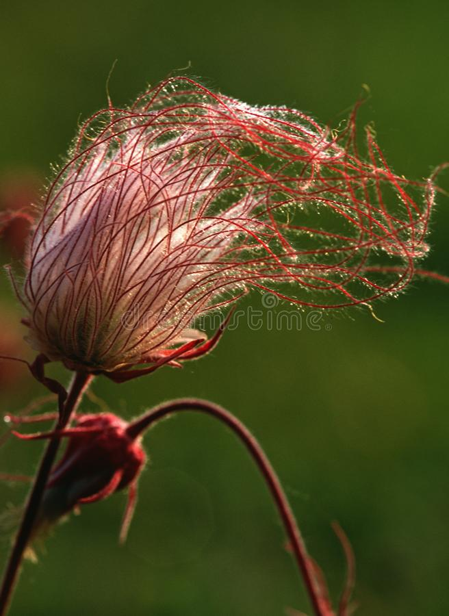 Prairie Smoke blossom shines in the morning sun stock image