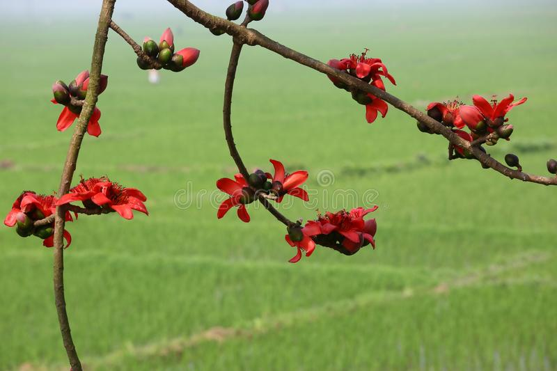 Reddish Shimul Red Silk Cotton flower tree and green paddy field background. stock photos