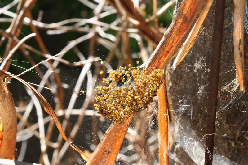 Rede av ny-kläckte Orb-spindlar royaltyfria bilder