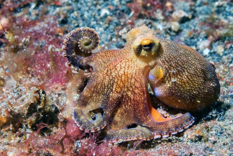 Rede för yttersida för stående för kokosnötbläckfisk undervattens- arkivfoton